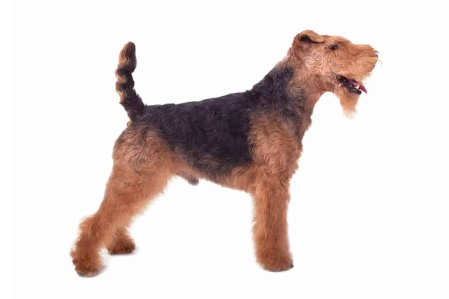 Welsh Terrier Profil