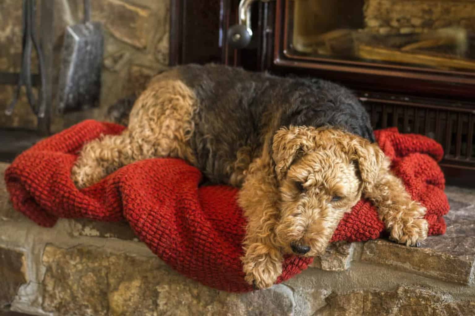Welsh Terrier liegt