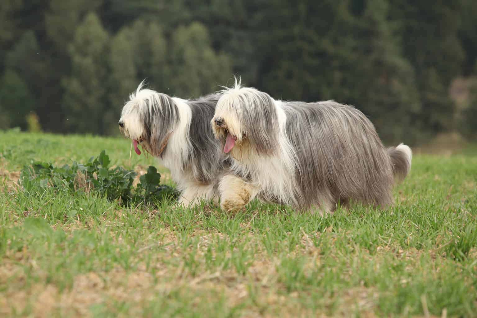 Zwei Bearded Collie