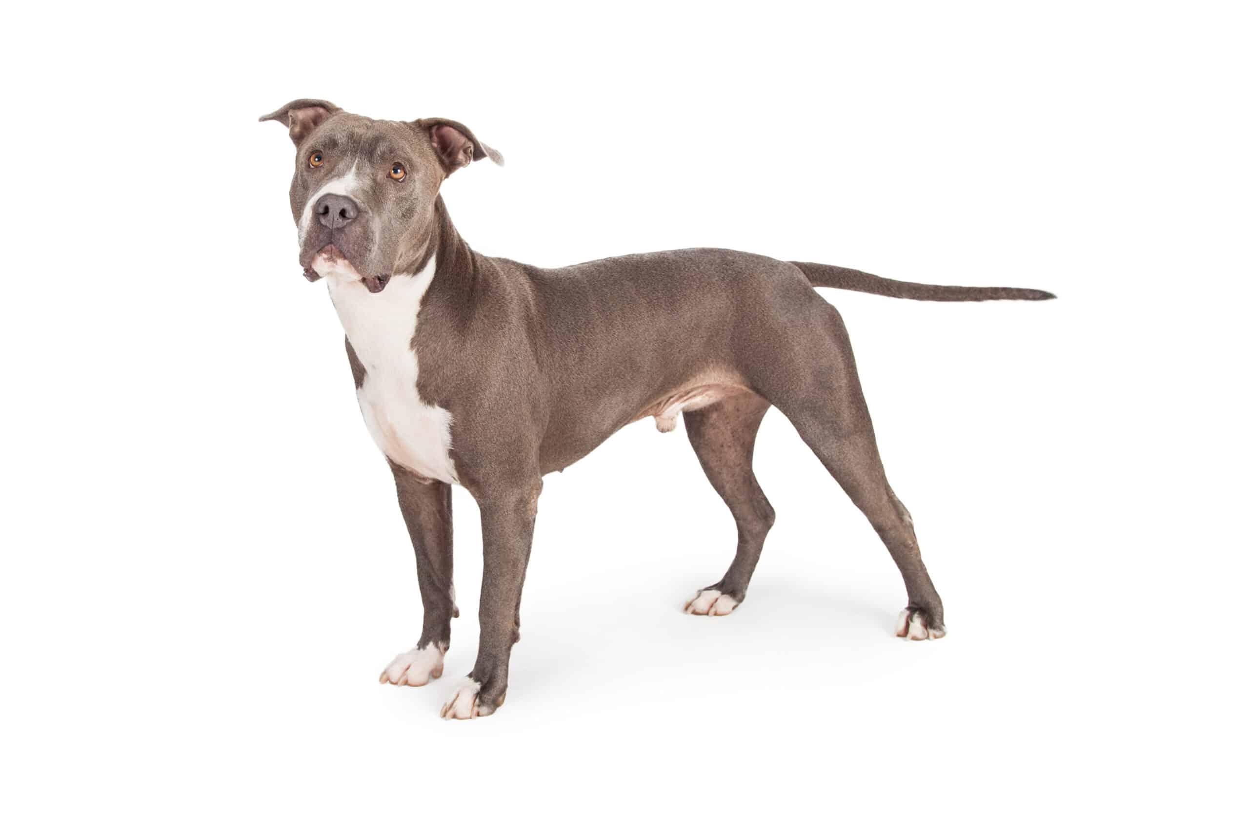American Staffordshire Terrier Hund Profilbild