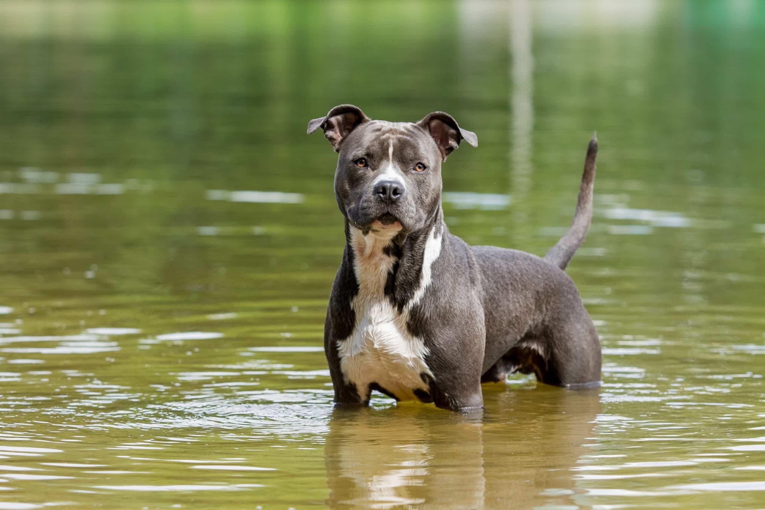 American Staffordshire Terrier im Wasser