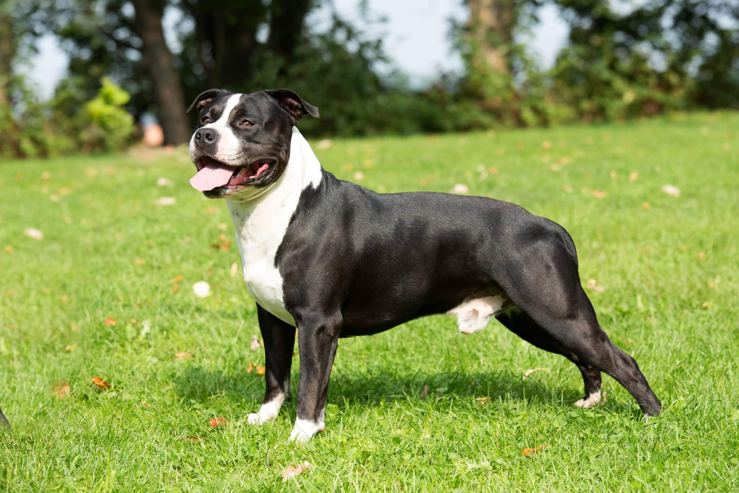 American Staffordshire Terrier schwarz