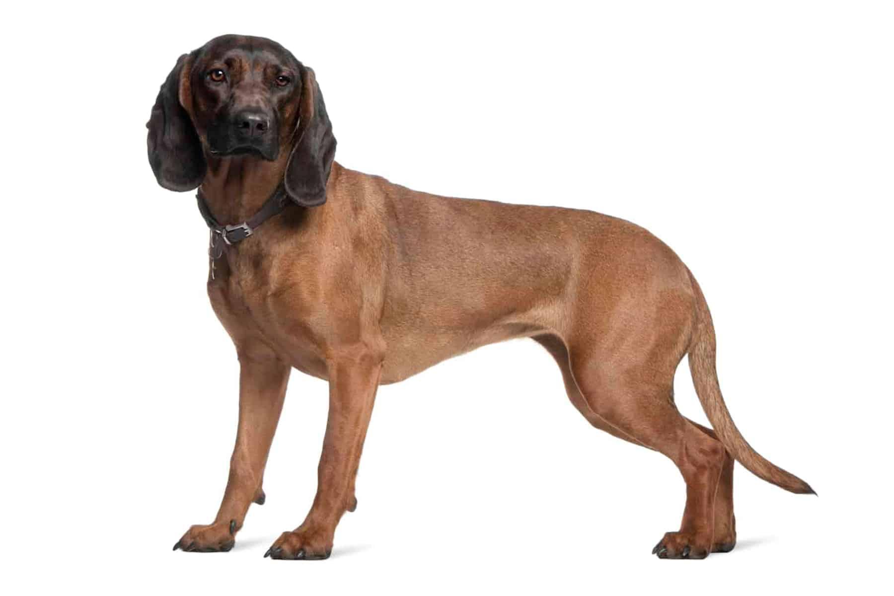 Bayerischer Gebirgsschweißhund Profil