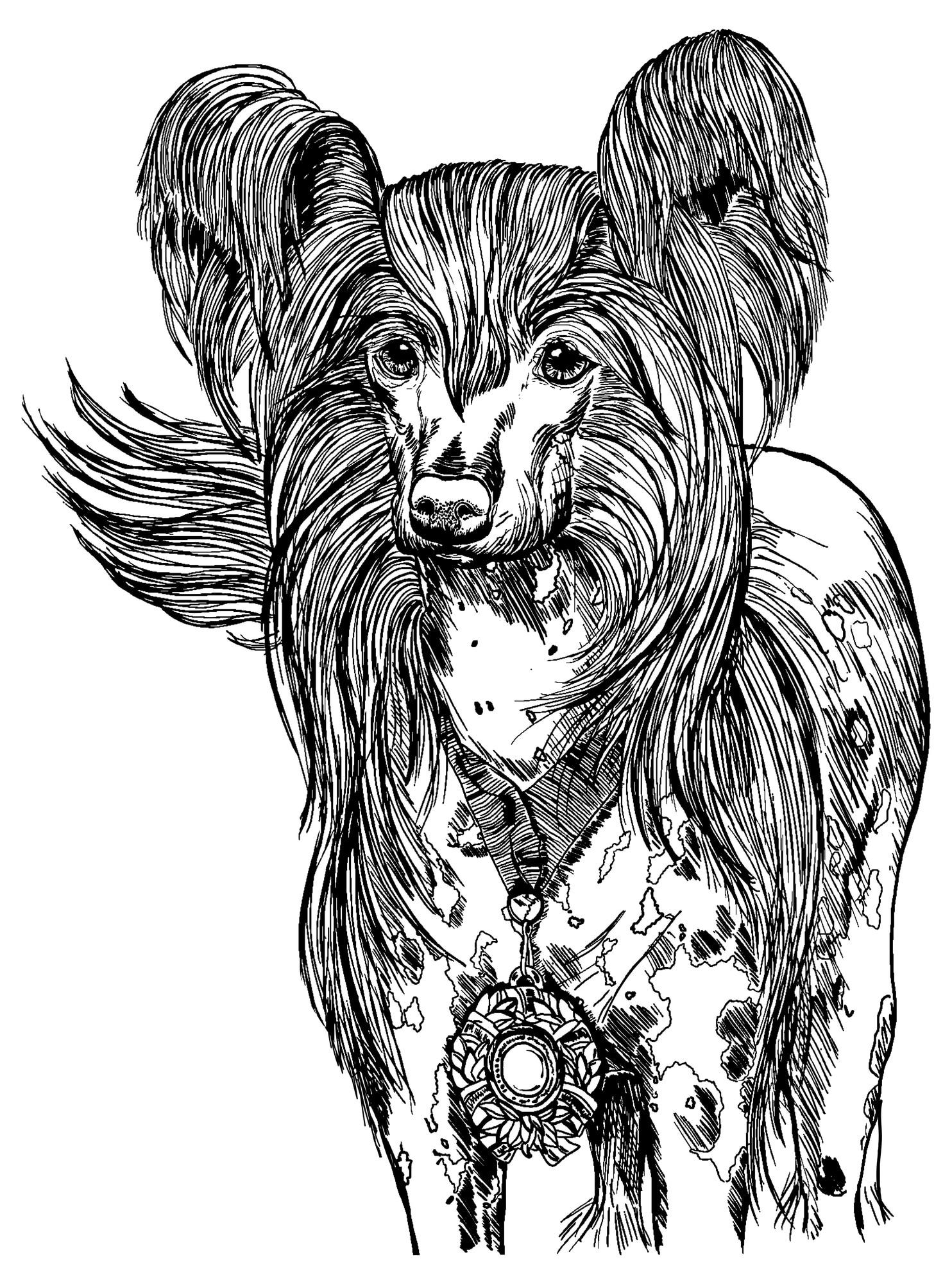 Chinesischer Schopfhund Geschichtsbild