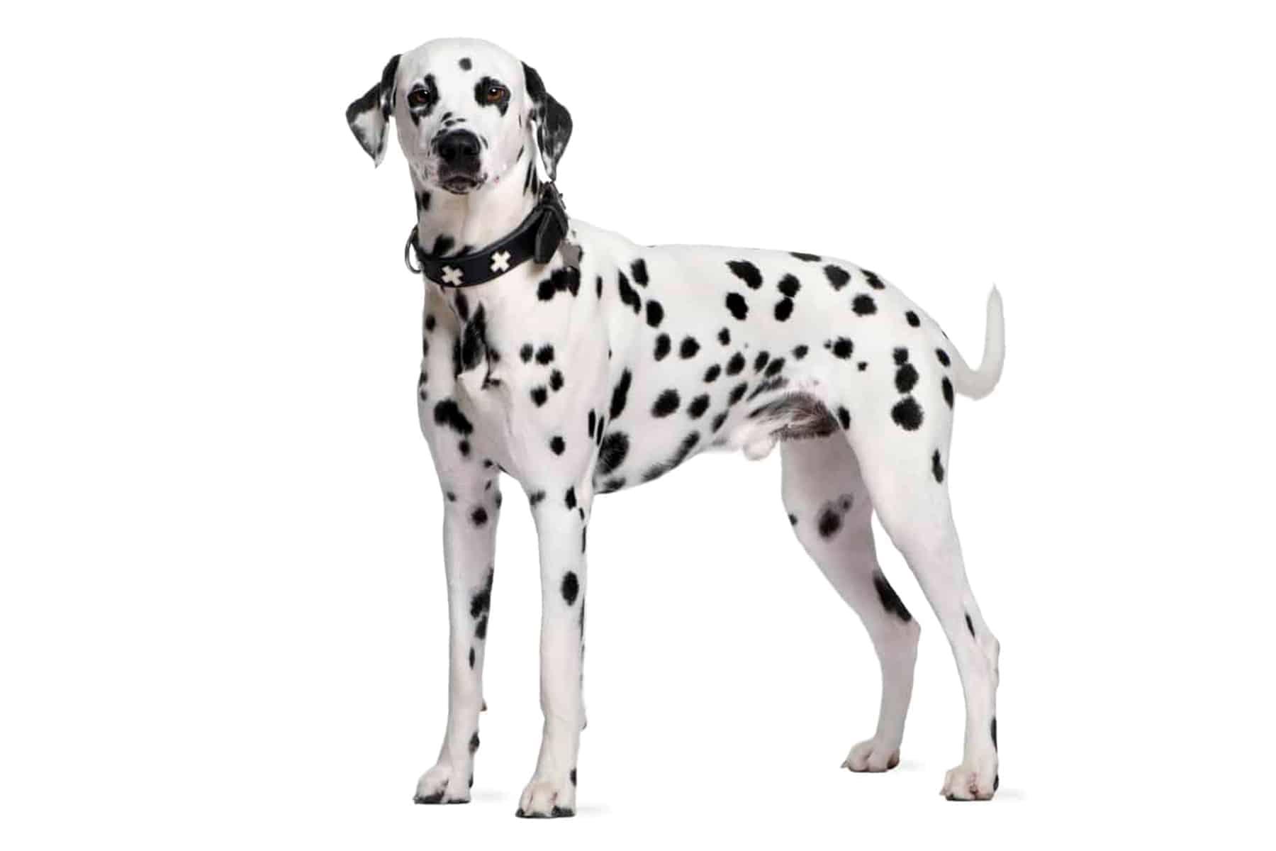 Dalmatiner Profil