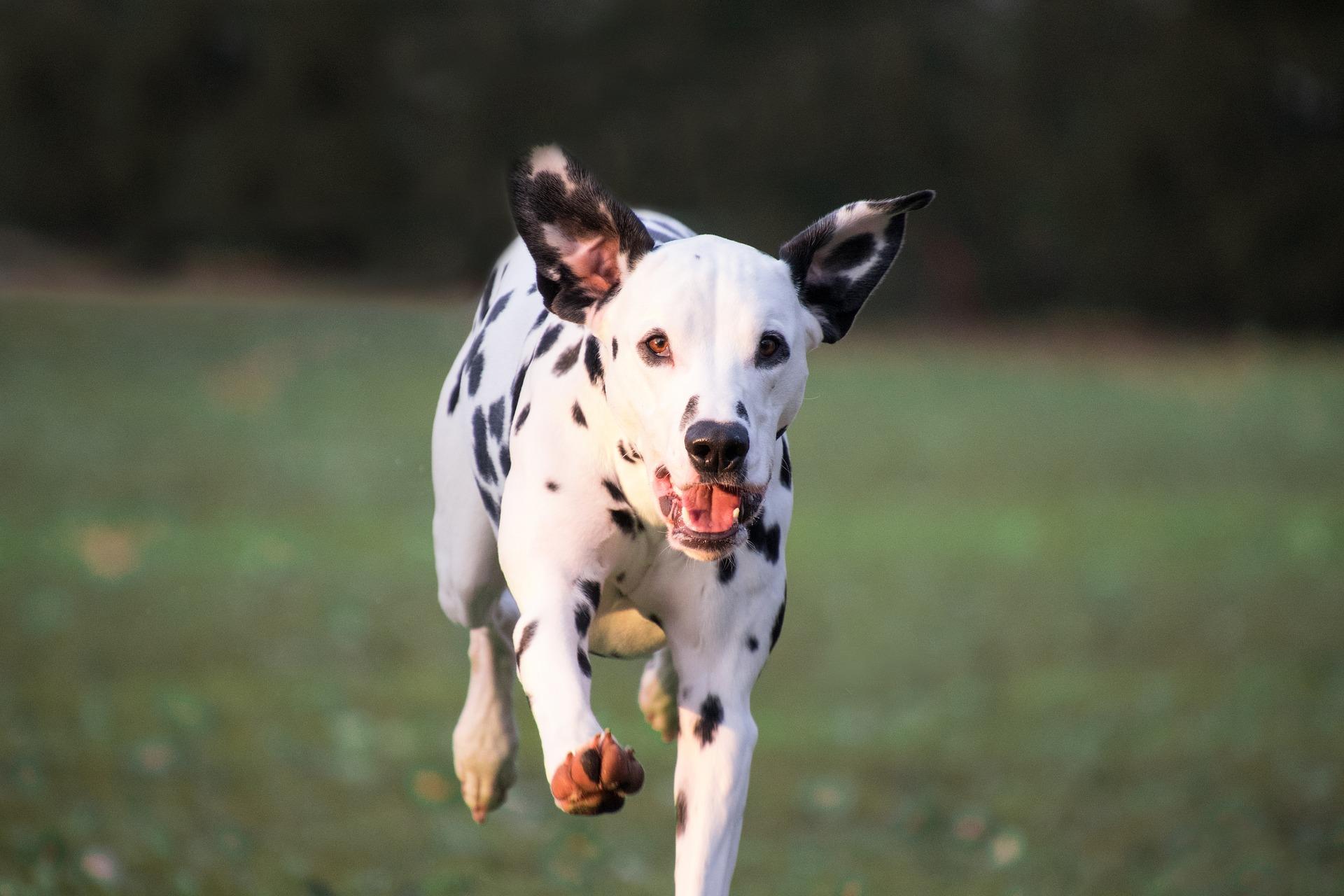 Dalmatiner rennt