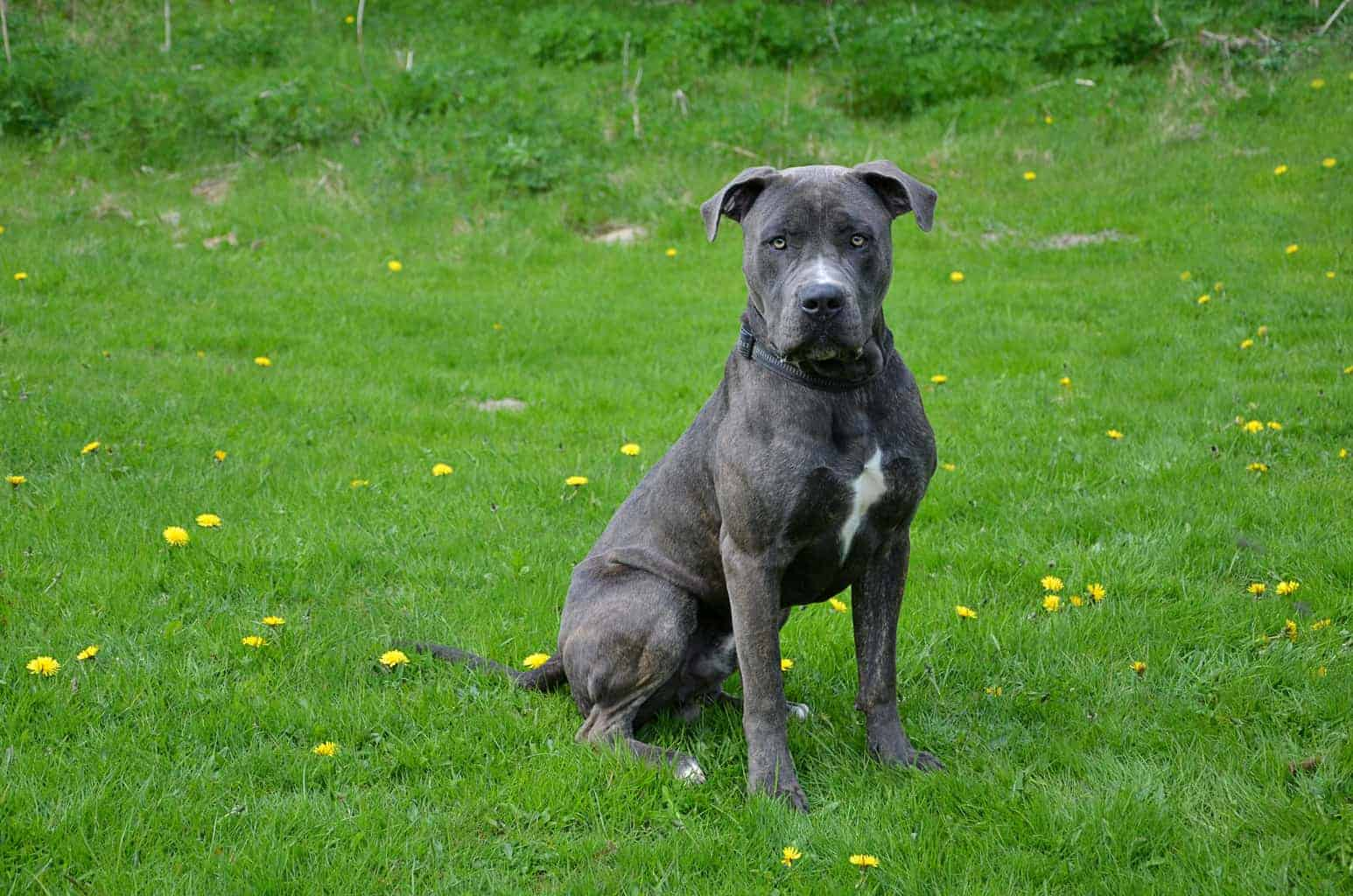 Dogo Canario schwarz