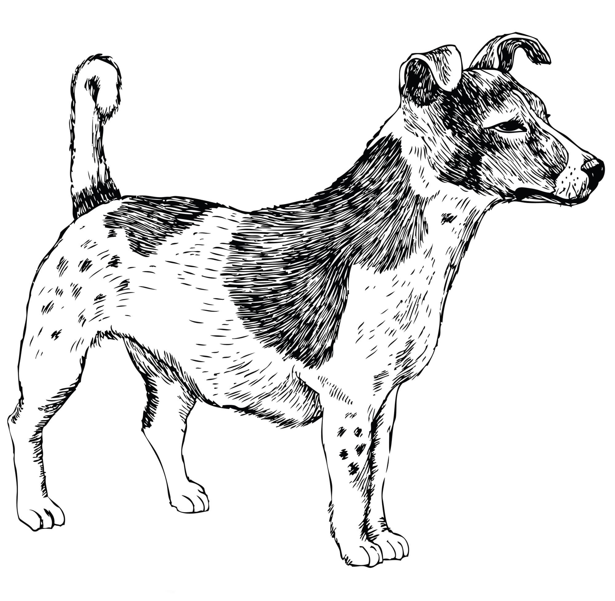 Jack Russell Terrier Geschichtsbild