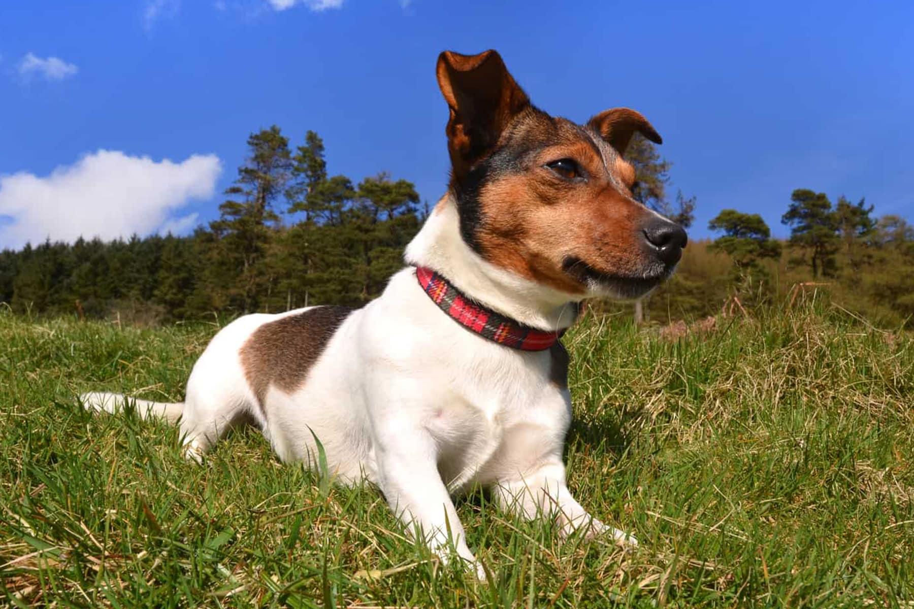 Jack Russell Terrier liegt