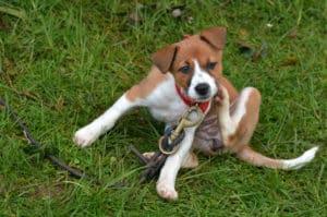 Kleiner Hund kratzt sich