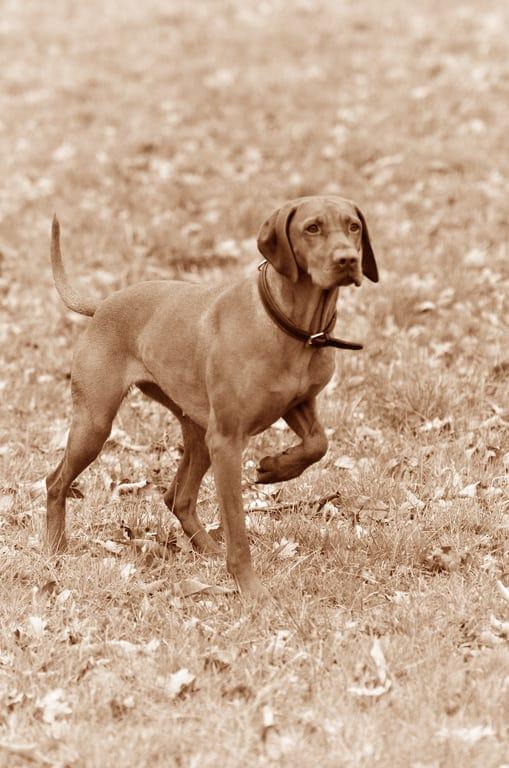 Kurzhaariger-Ungarischer-Vorstehhund-Geschichte