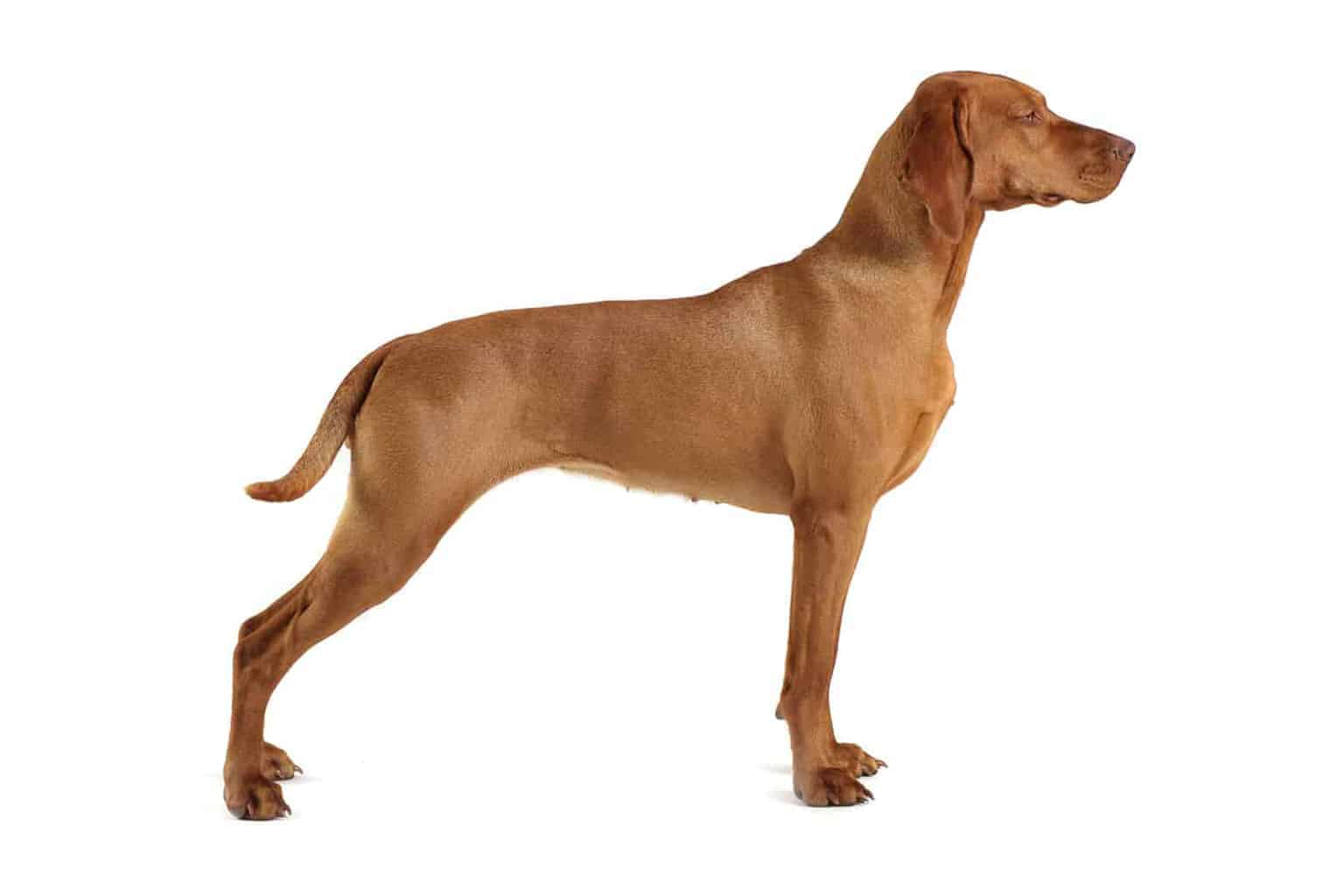 Kurzhaariger Ungarischer Vorstehhund Profilbild