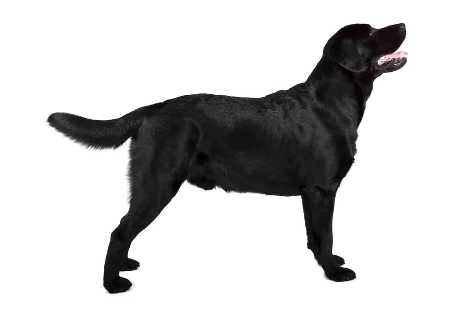 Labrador Retriever Profil