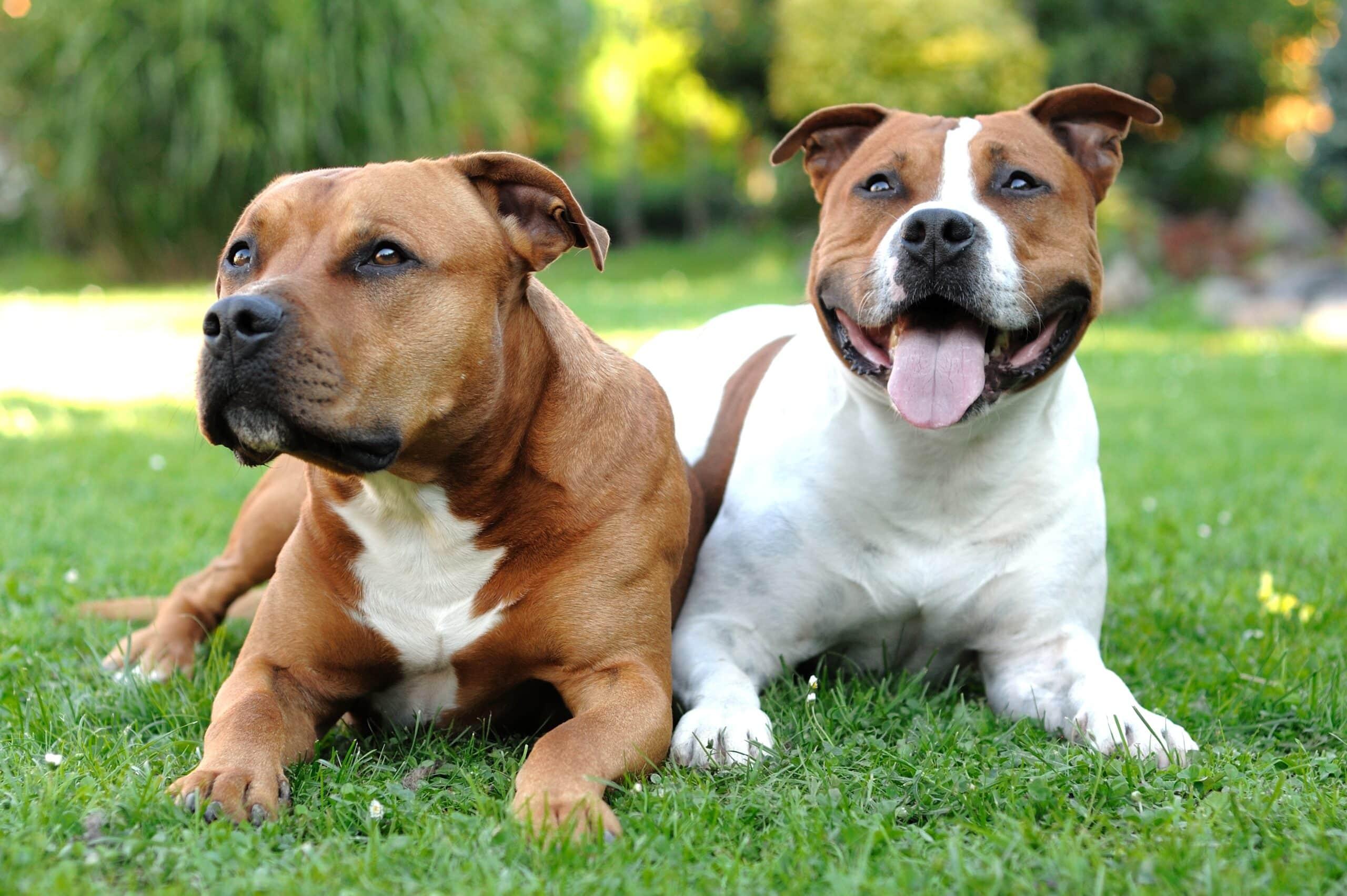 Zwei American Staffordshire Terrier liegen