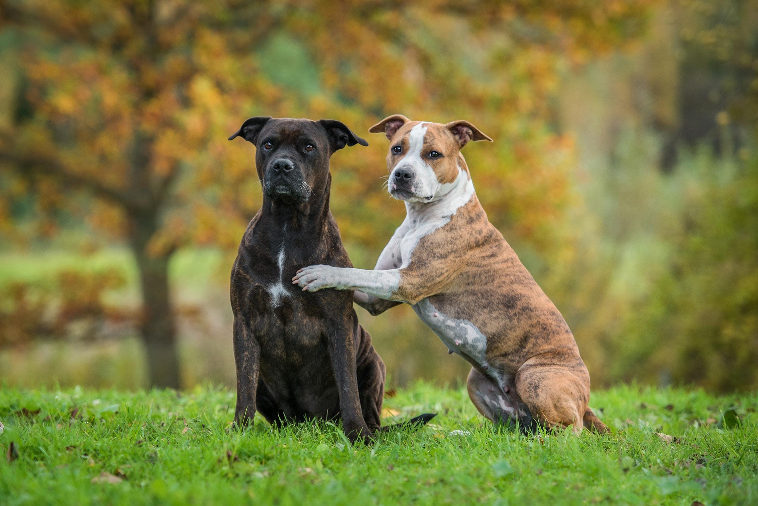 Zwei lustige American Staffordshire Terrier