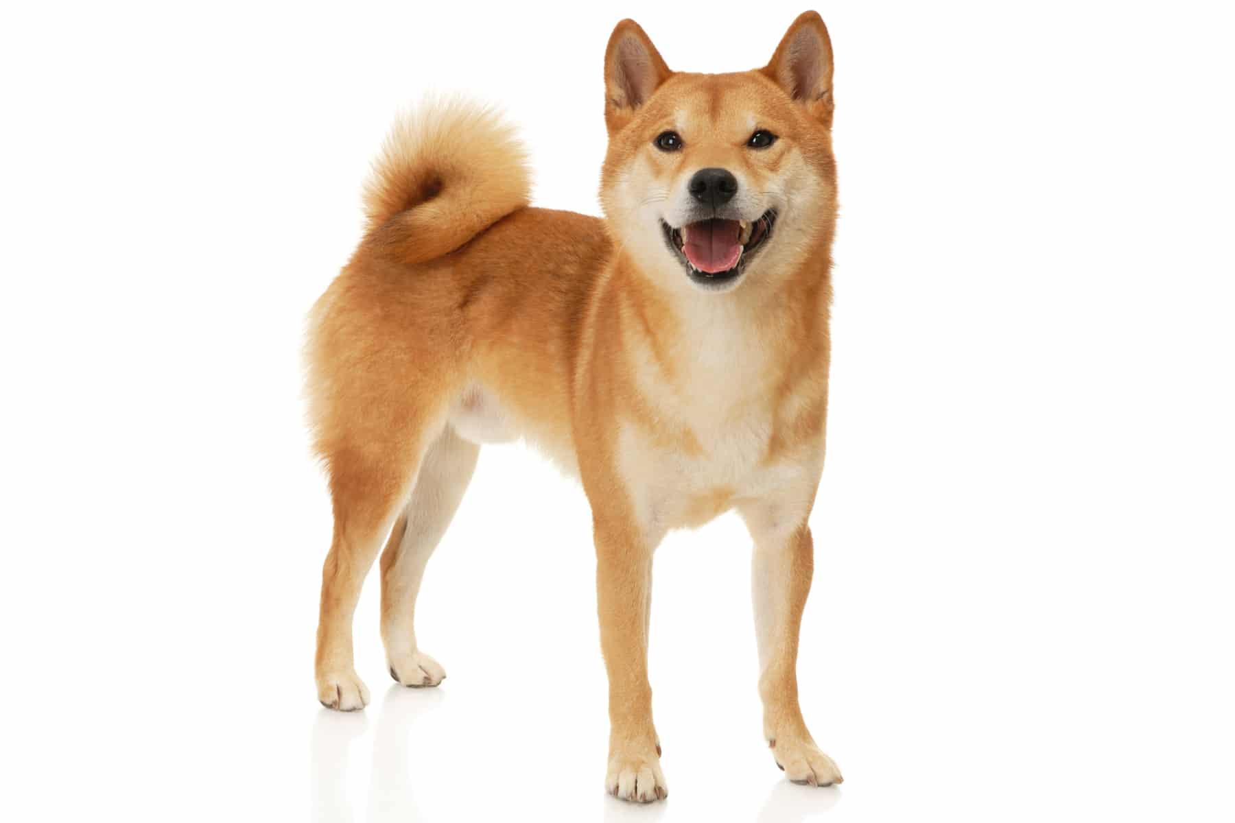 Shiba Inu Profilbild