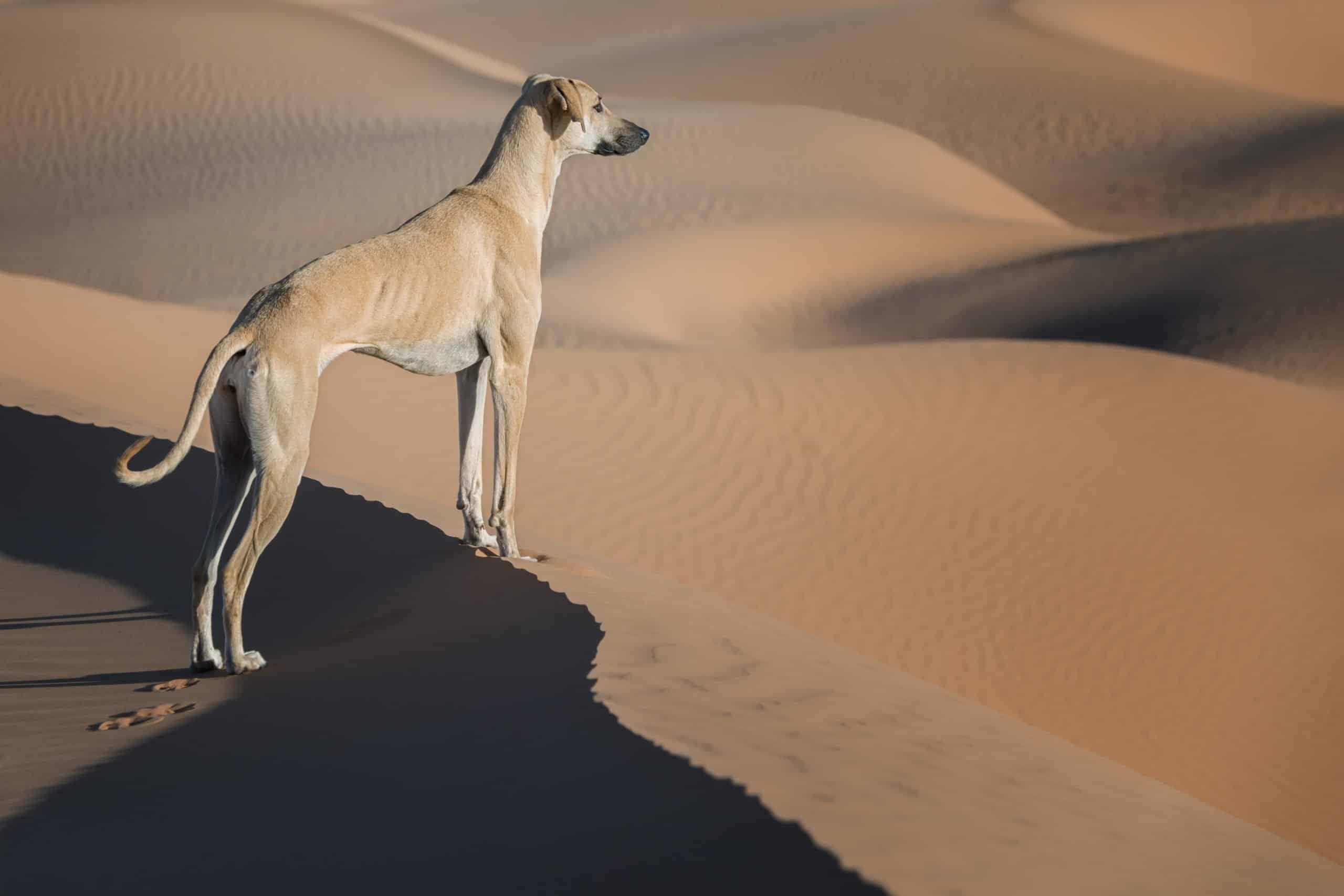 Sloughi Wüste
