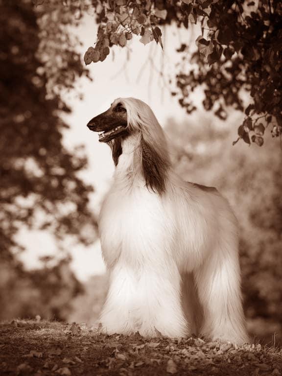 Afghanischer Windhund Geschichte