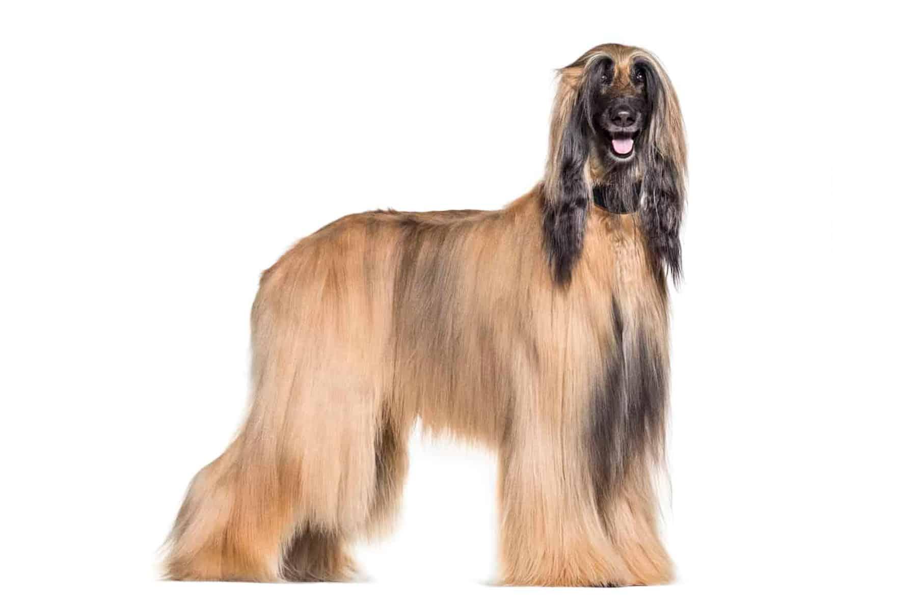 Afghanischer Windhund Profil