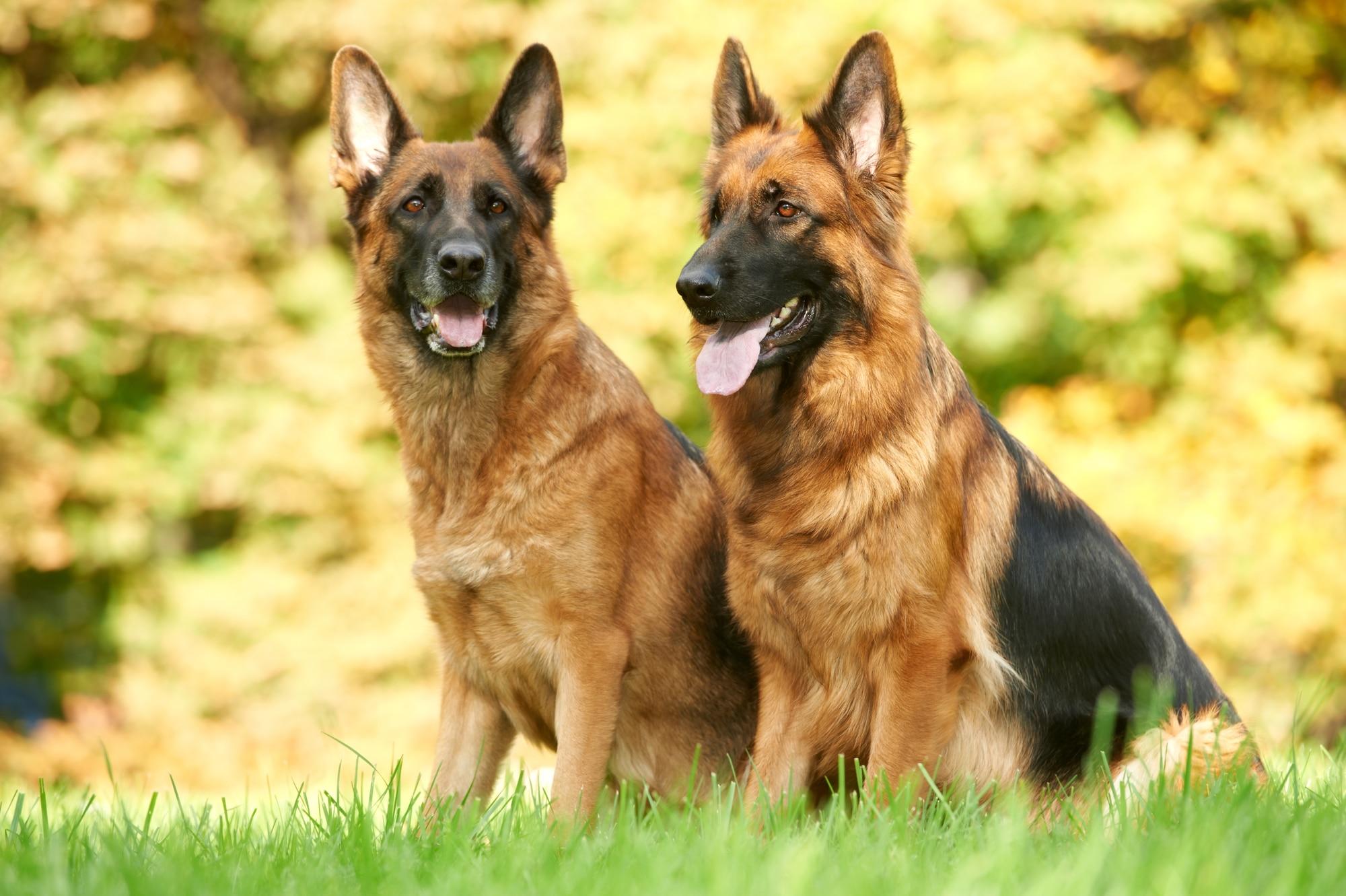 Deutscher Schäferhund 1