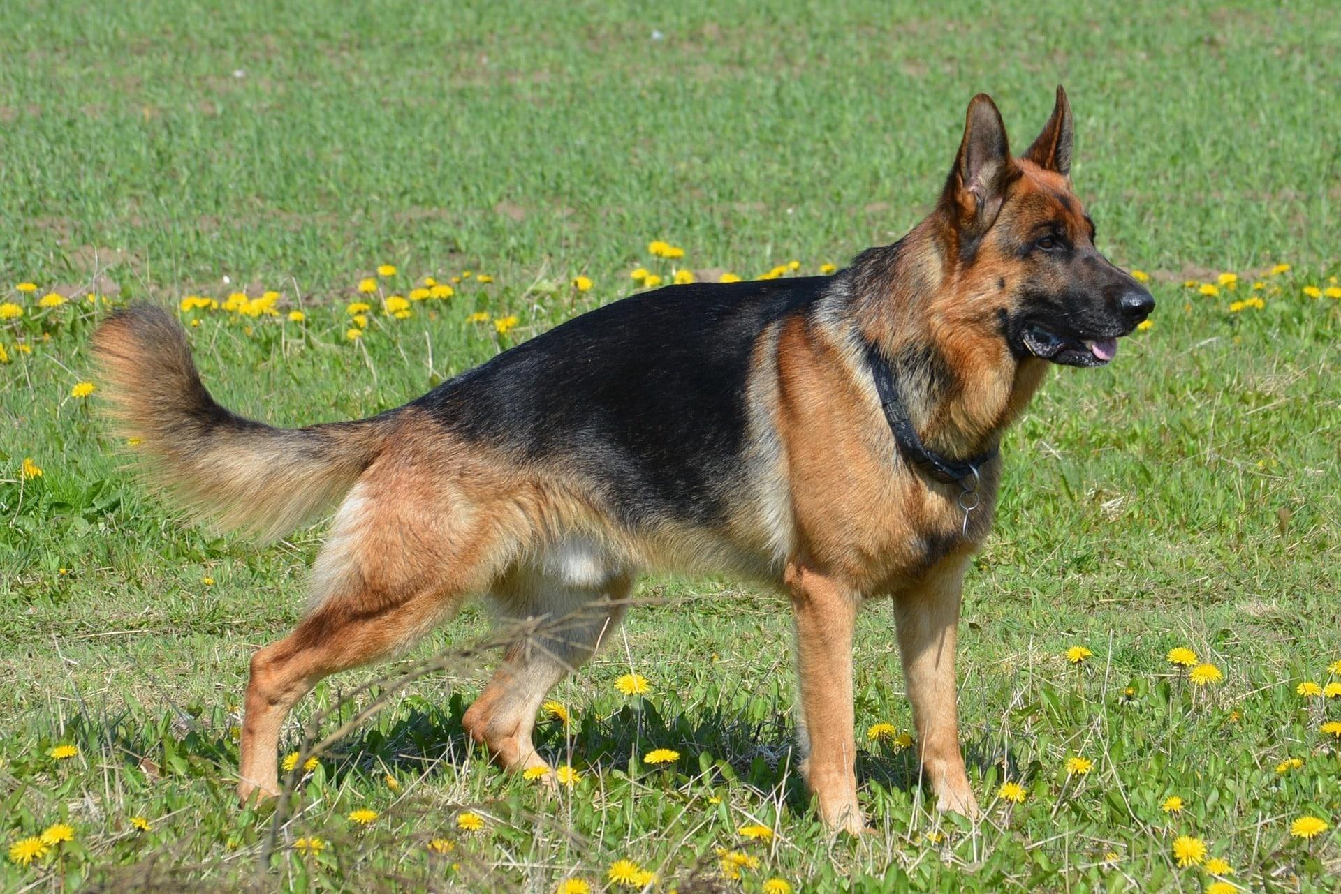 Deutscher Schäferhund 2