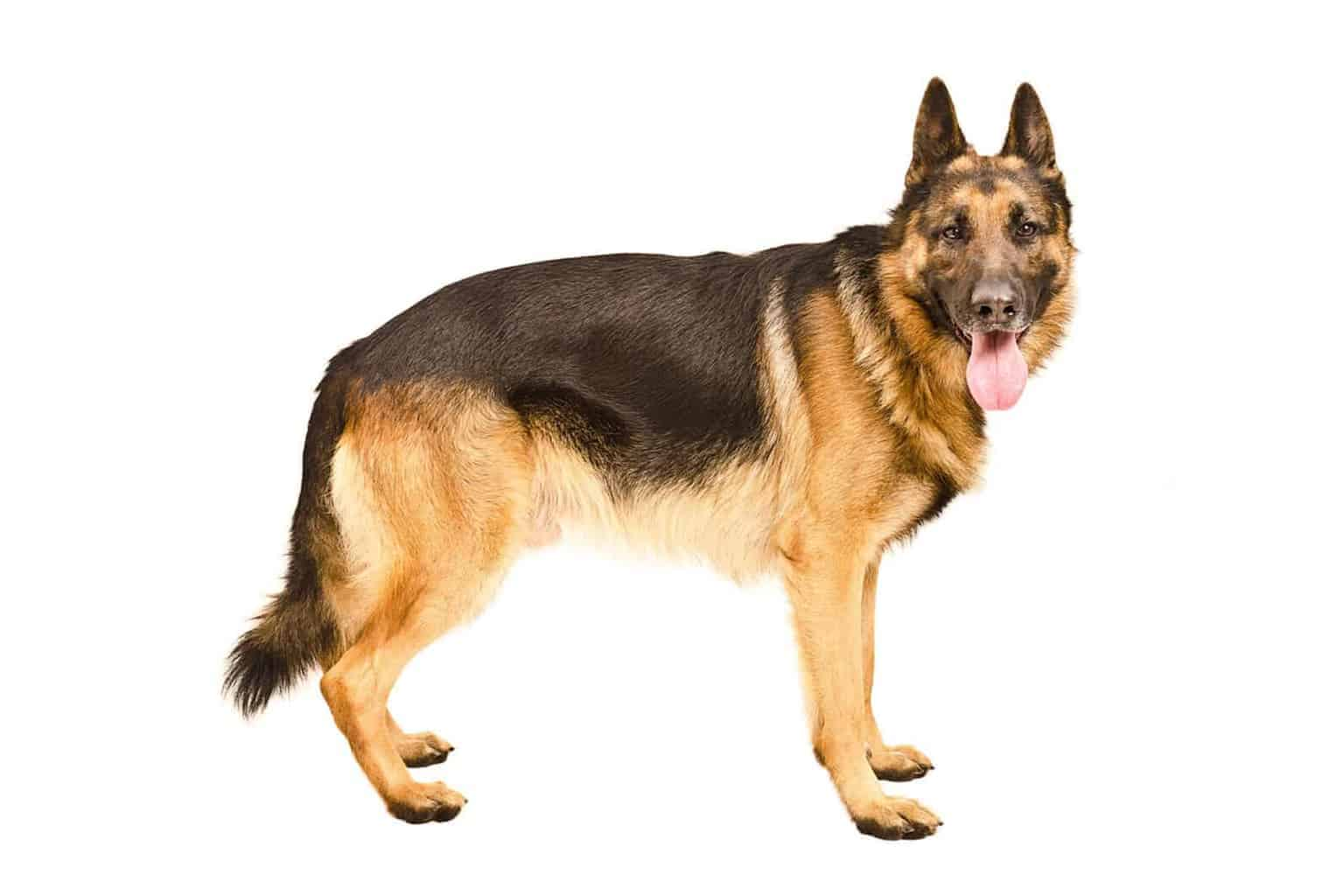 Deutscher Schäferhund Profil