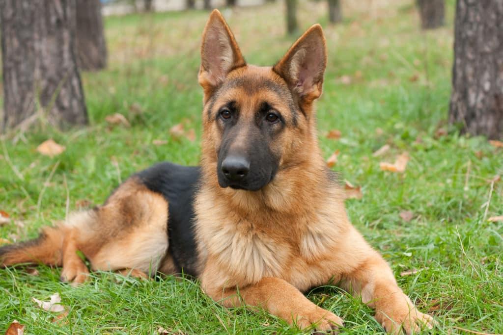 Deutscher Schäferhund liegt