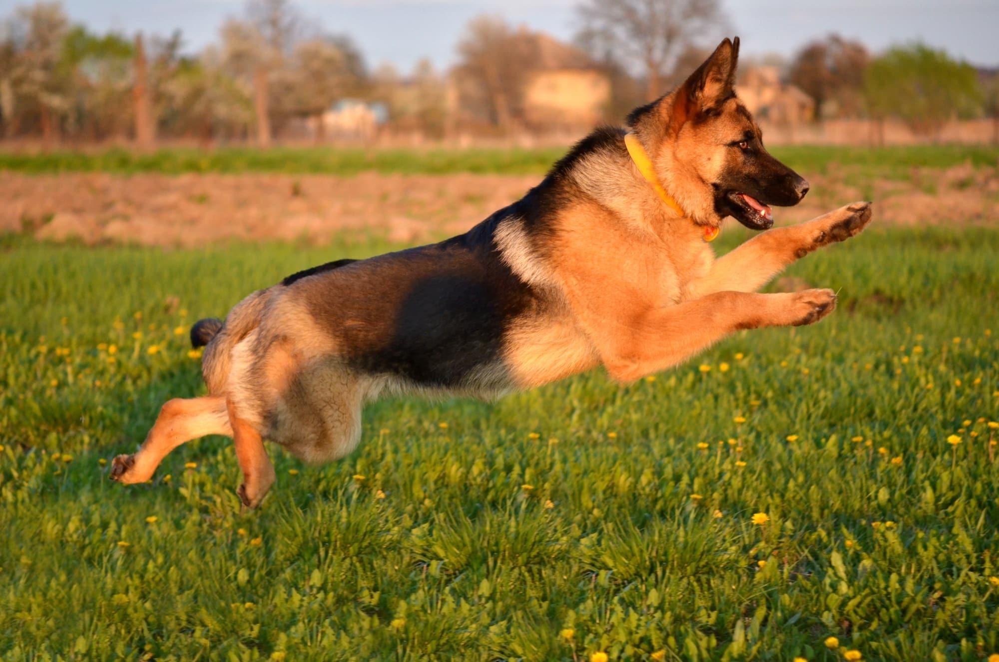 Deutscher Schäferhund springt