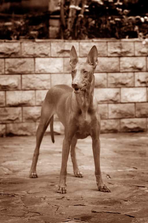 Pharaonenhund Geschichte