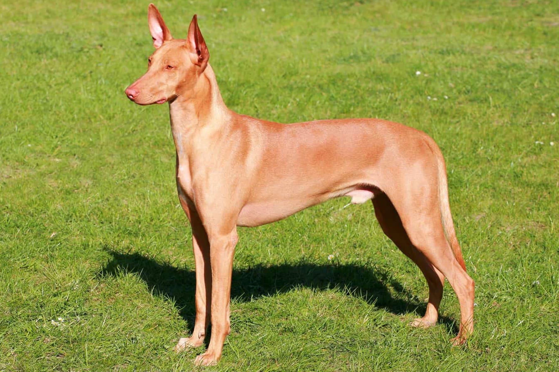 Pharaonenhund seitlich