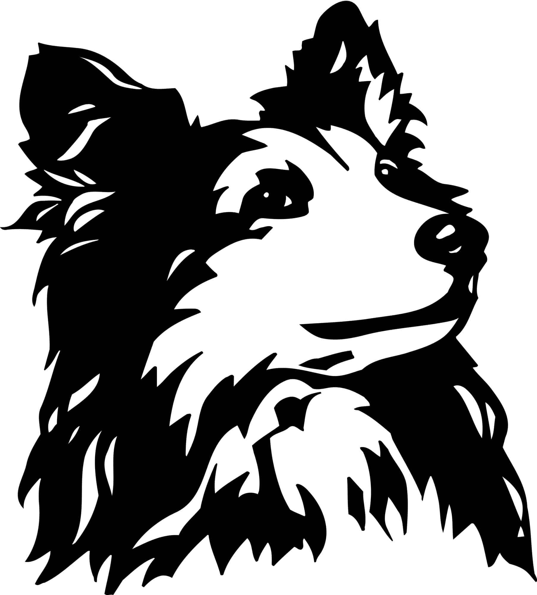 Shetland Sheepdog Geschichte