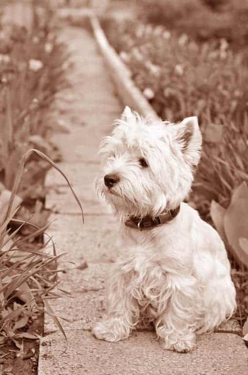West Highland White Terrier Geschichte