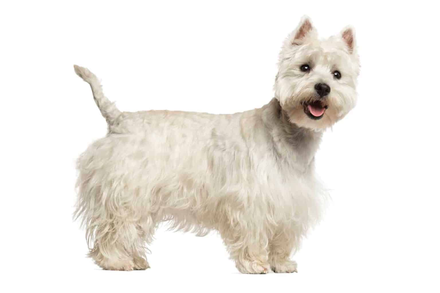 West Highland White Terrier Profil