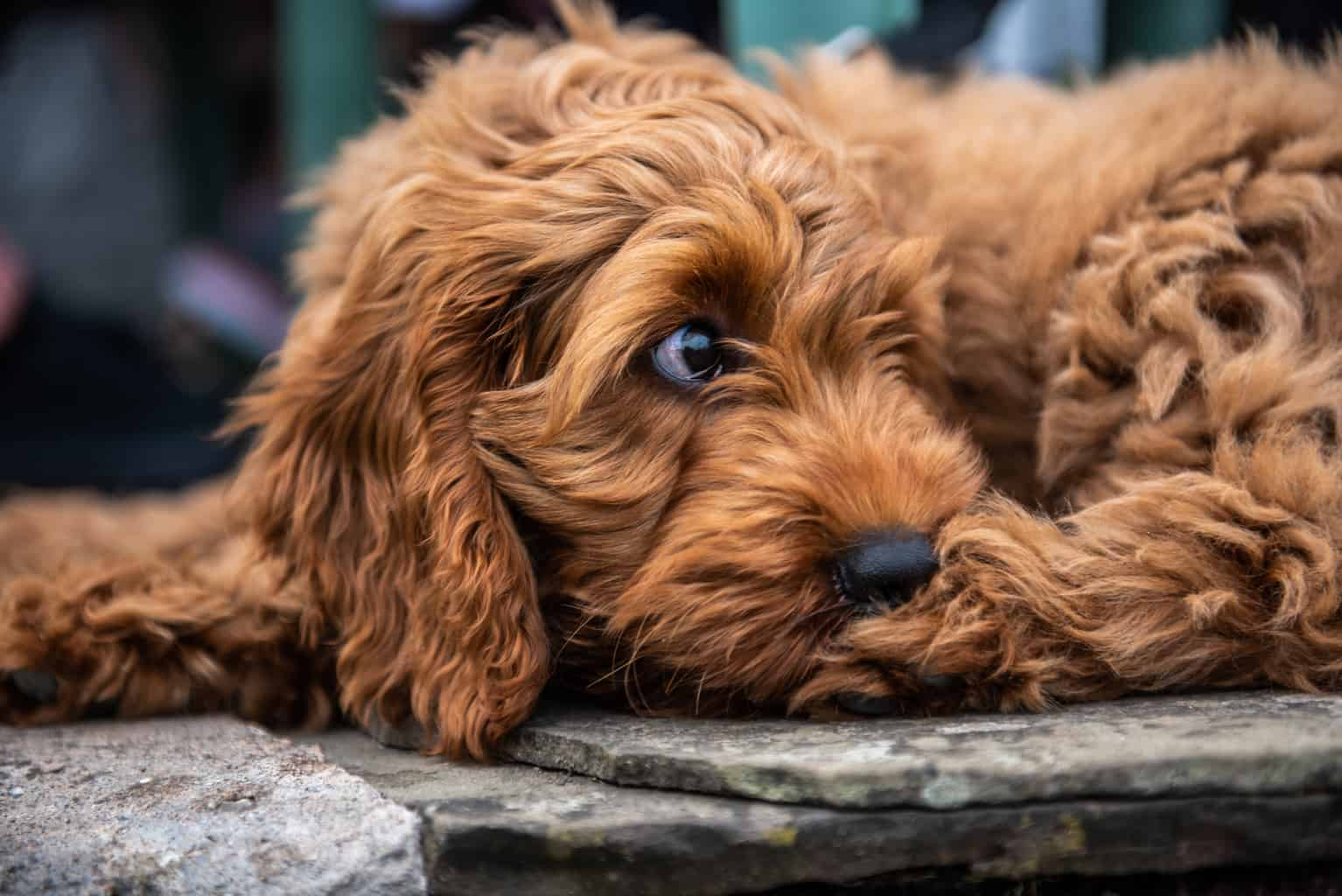 Cockapoo Portrait