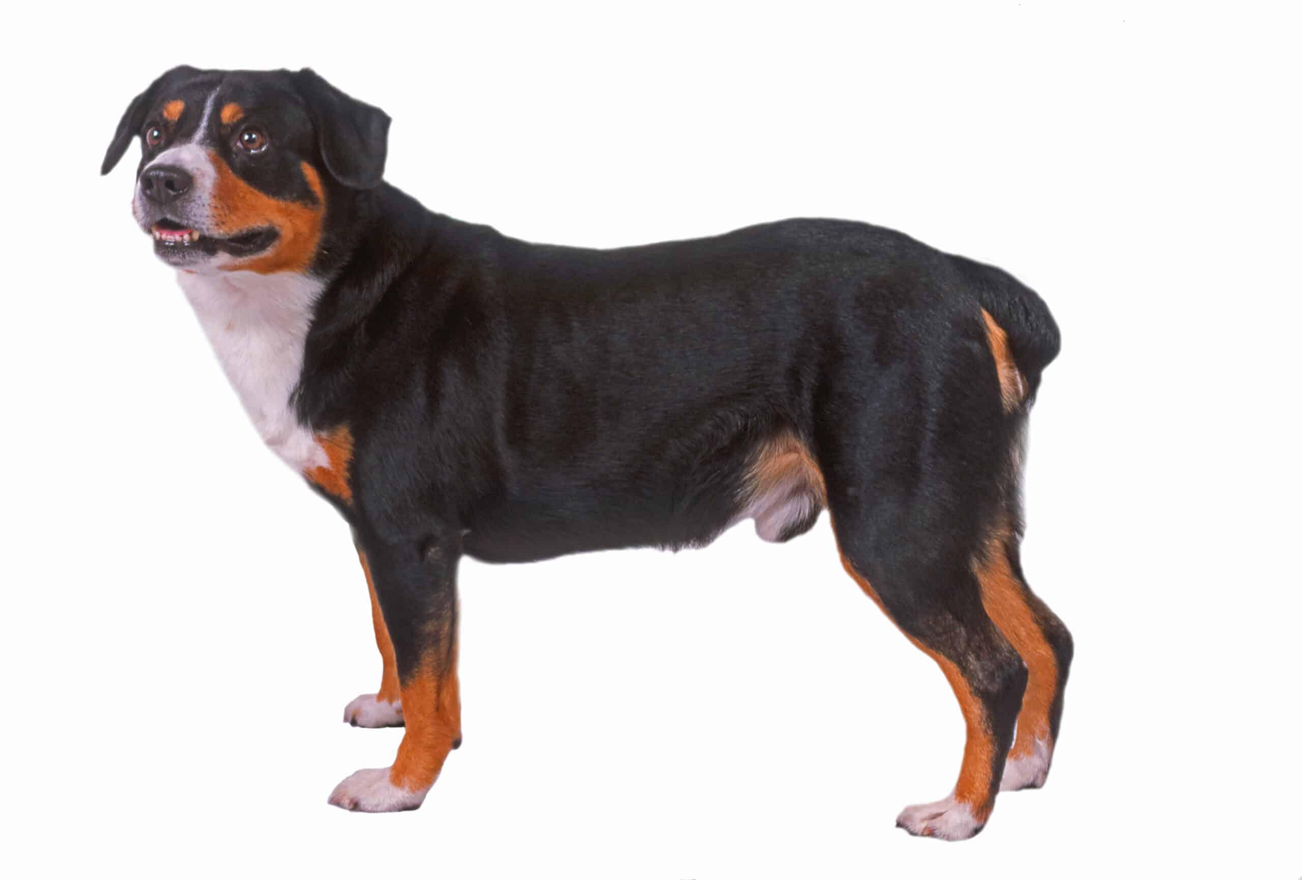 Entlebucher Sennenhund Profil