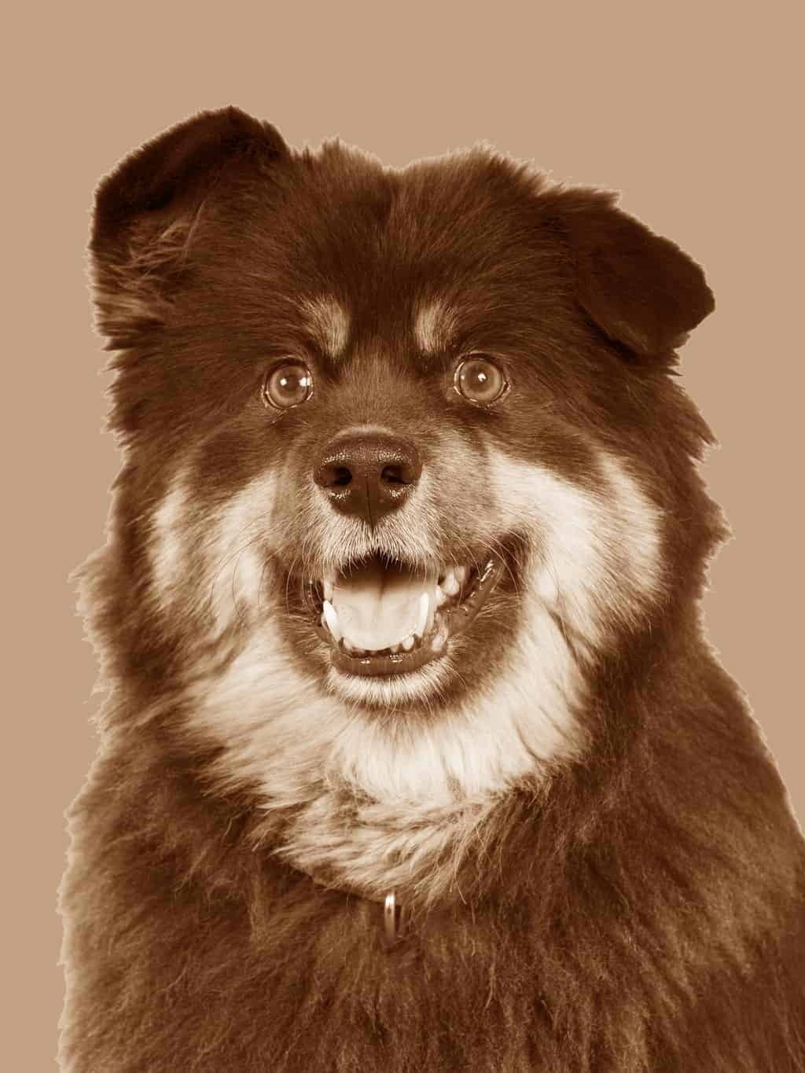 Finnischer Lapphund Geschichte