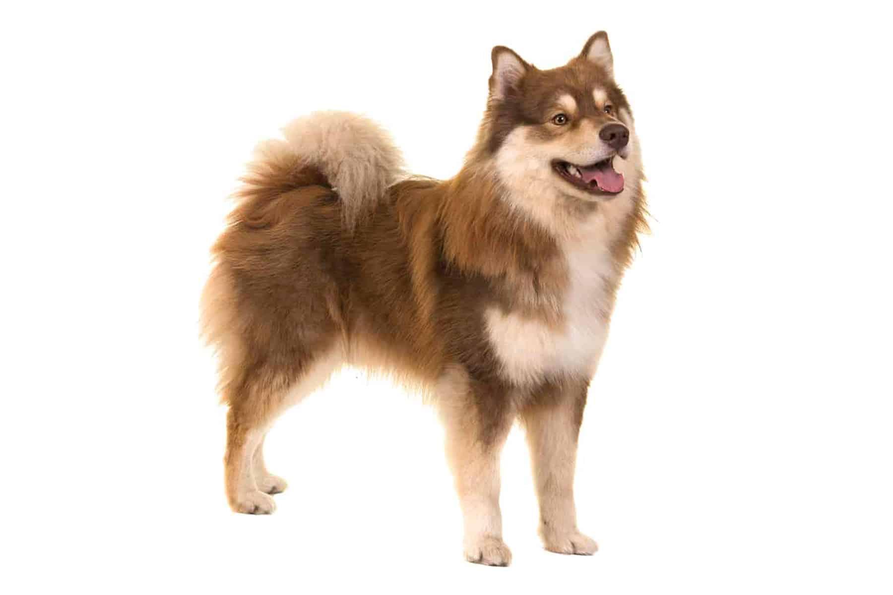 Finnischer Lapphund Profil