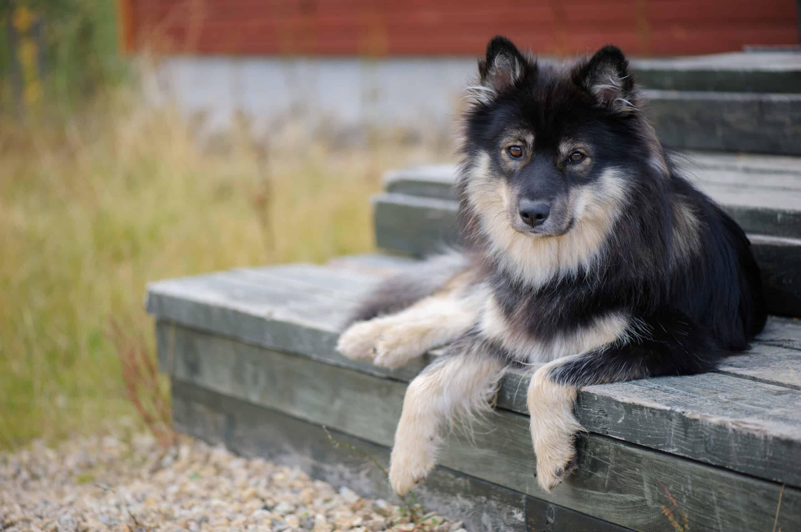 Finnischer Lapphund liegt