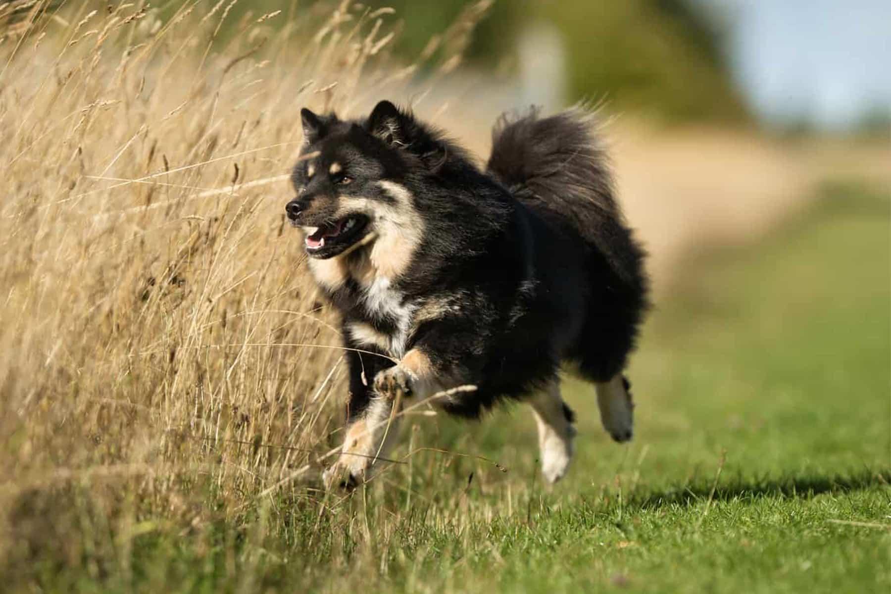 Finnischer Lapphund springt