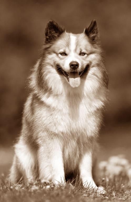 Islandhund Geschichte