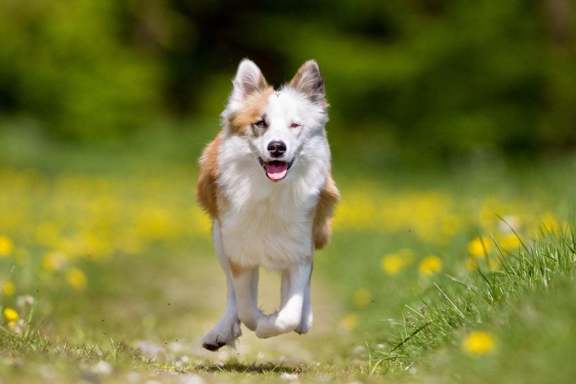 Islandhund springt