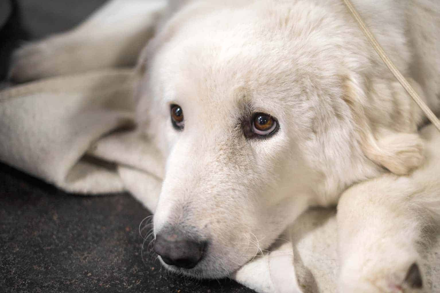 Hungarian Kuvasz dog portrait with beautiful intelligent eyes. It is livestock dog.