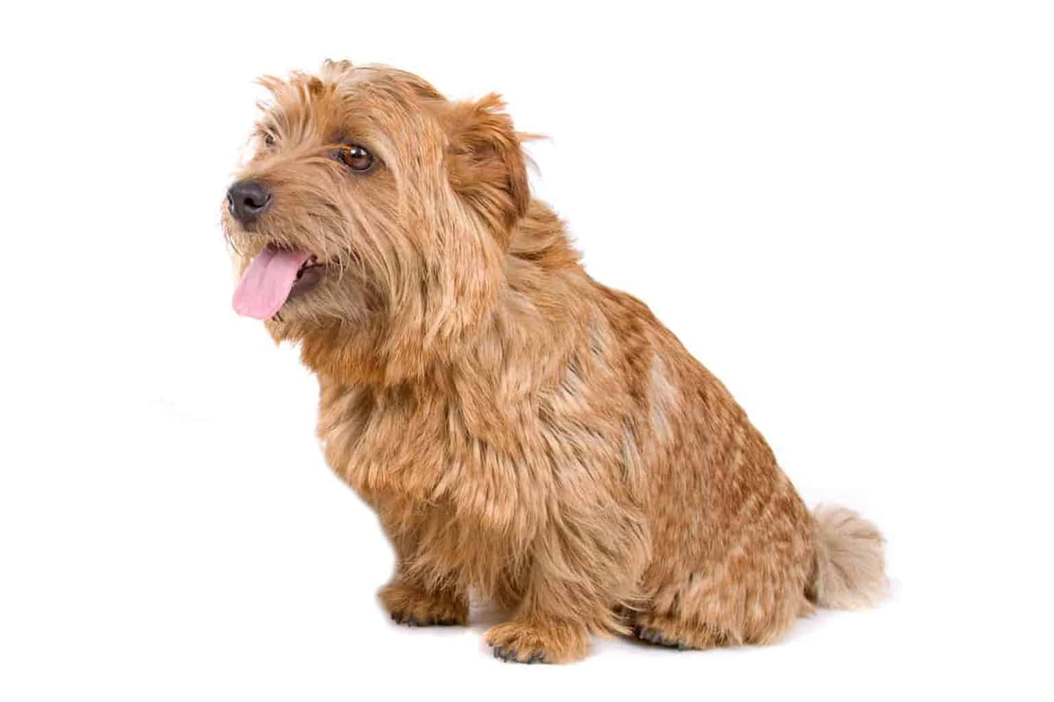 Norfolk Terrier Profil