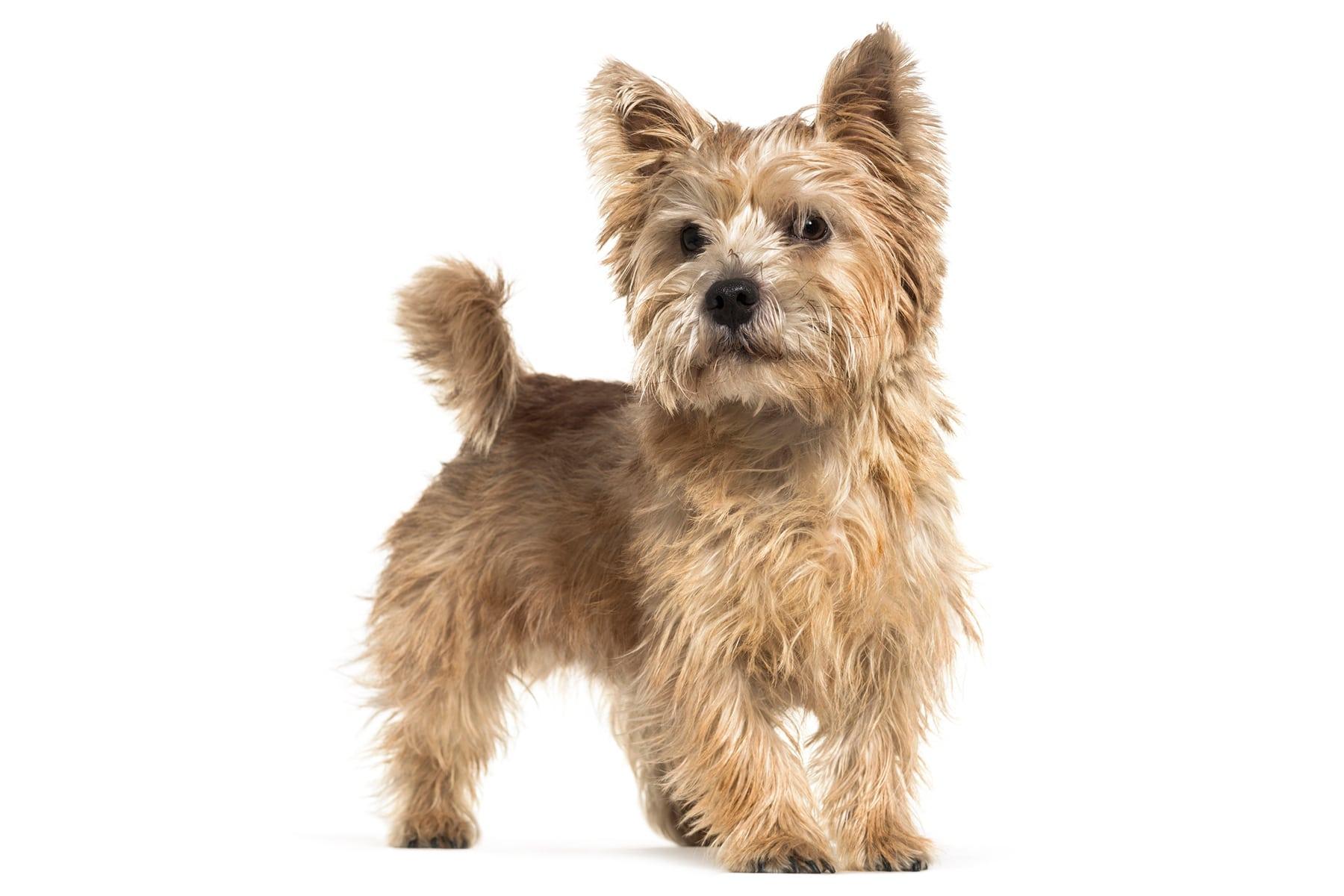 Norwich Terrier Profilbild