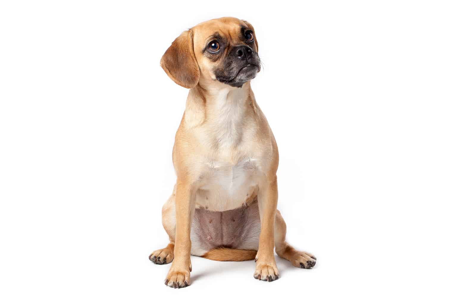 Puggle Profilbild