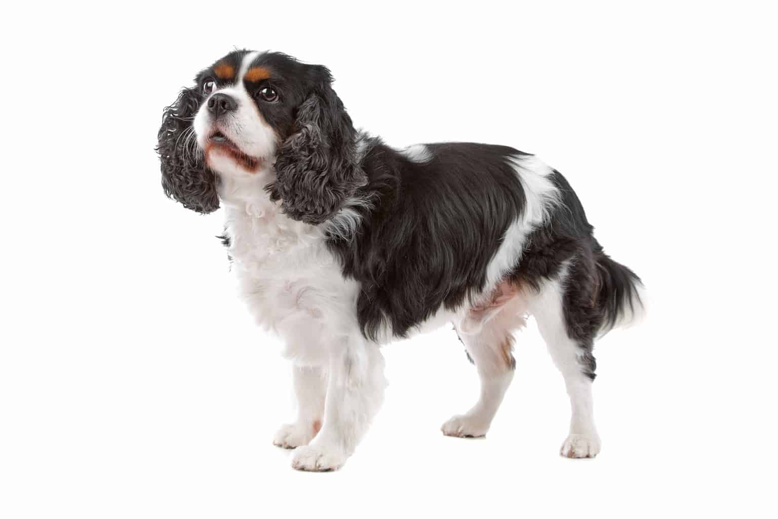 Cute Cavalier King Charles Spaniel dog standing, on a white background