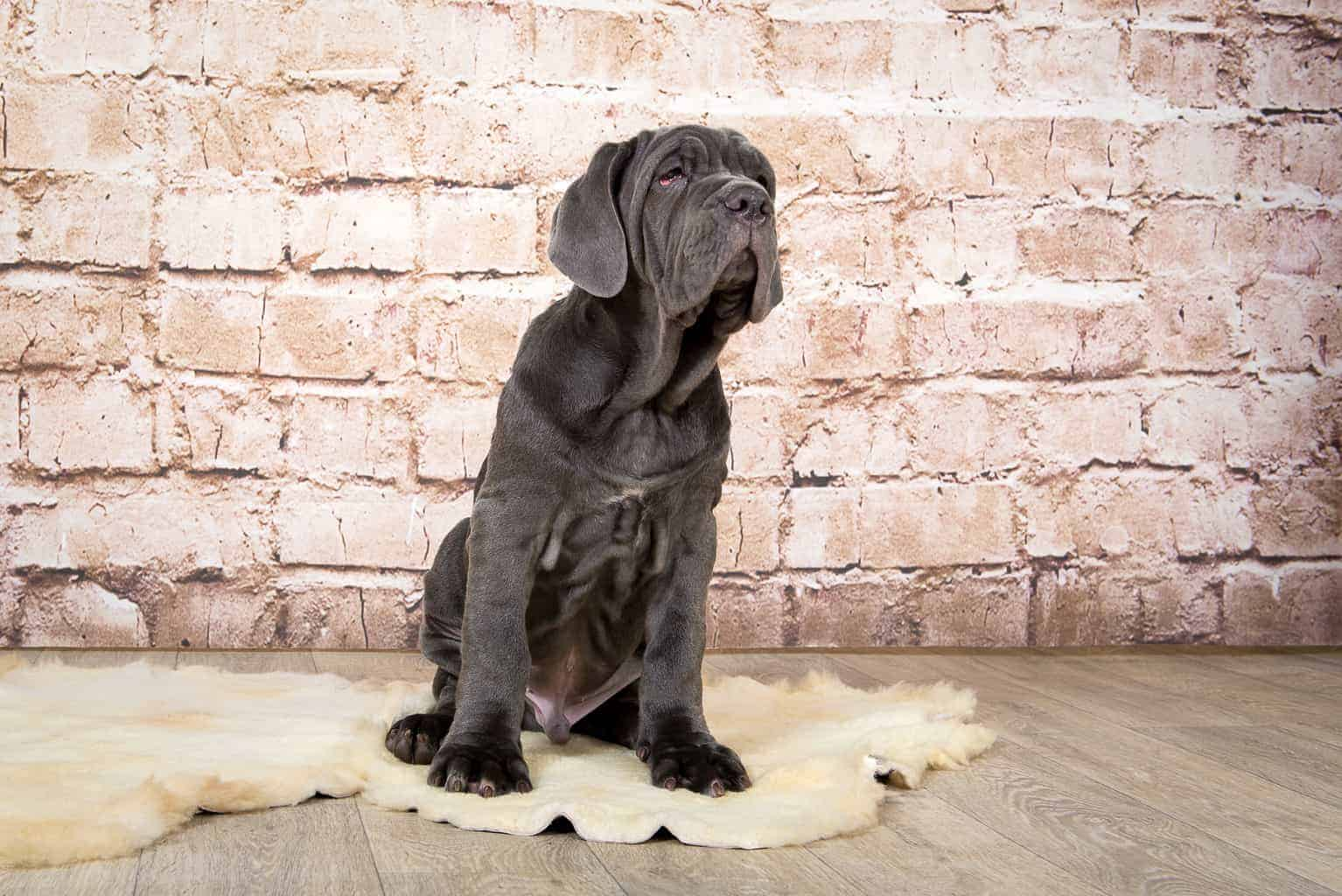 Grey, black and brown puppies breed Neapolitana Mastino. Dog handlers training dogs since childhood.