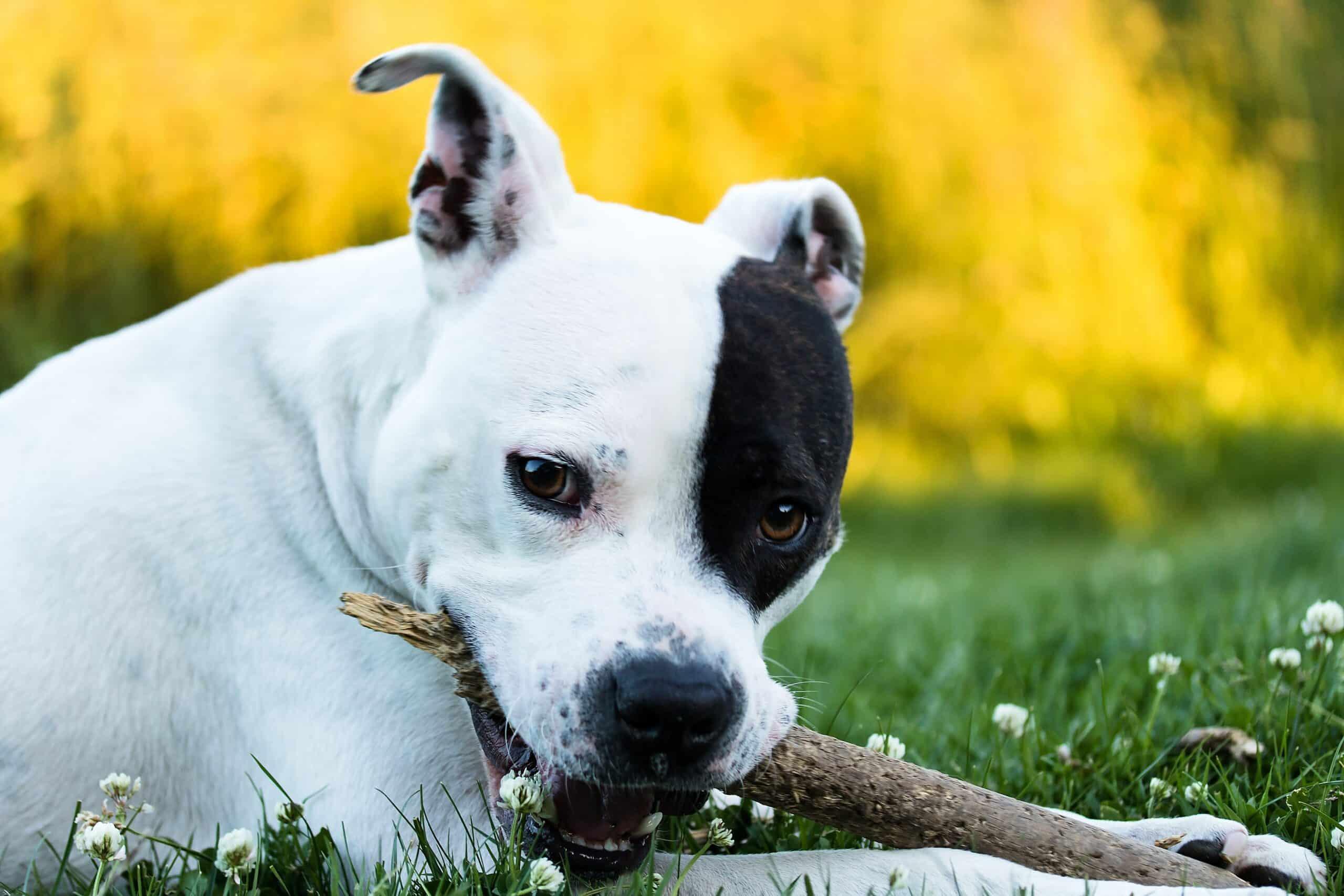 staffordshire-terrier_bilder