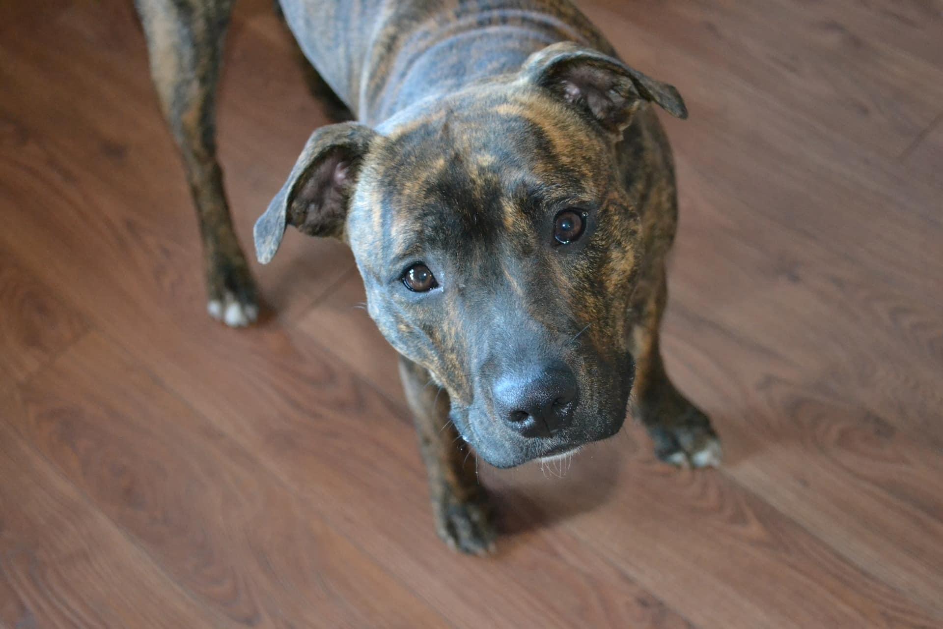 staffordshire-terrier 4