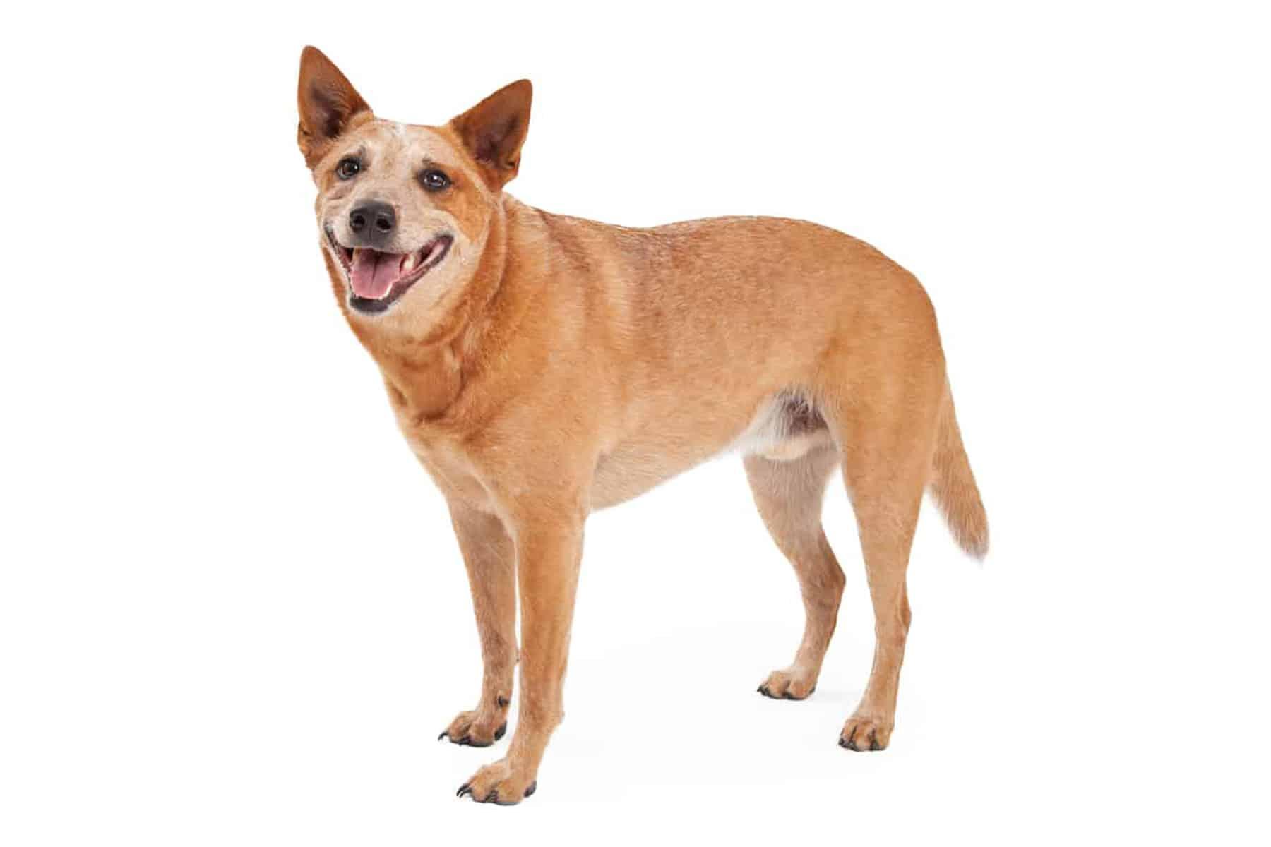 Australian Cattle Dog Profil